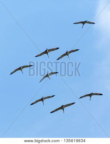 Sandhill Cranes soar through blue skies above Fairbanks, Alaska
