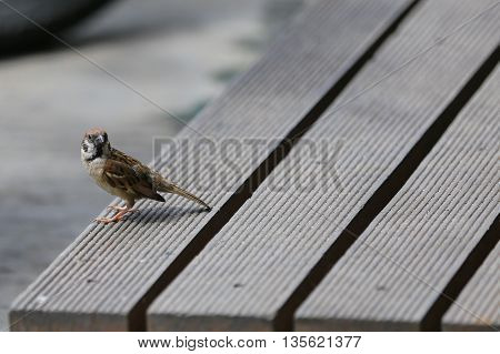 small sparrow on wood pallet and look some thing