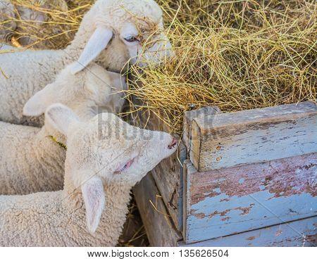 Lamb Eat Barn