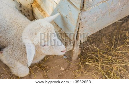Image Of White Little Lamb On Day Time.