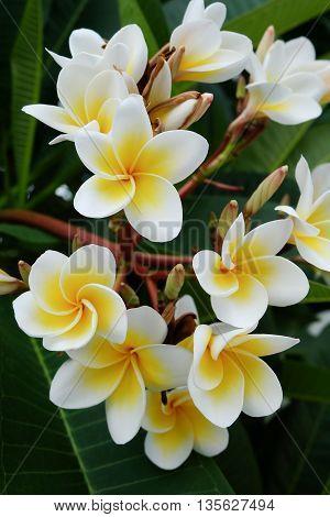 White Frangipani Tropical Flower, Plumeria Flower Fresh Blooming On Tree, Spa Flower