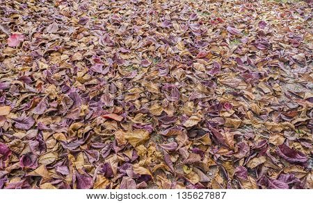 image of dry tropical almond leaf on the ground for background texture usage.