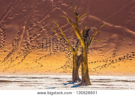 Namib-Naukluft National Park. The bottom of a dry lake with dry trees. Huge dunes with footprints on the sandy slopes