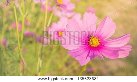 Image Of Purple Cosmos Flower In The Field.