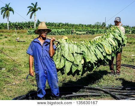 Santiago de Cuba Cuba - January 12 2016: typical scene in the Cuban countryside. laborers harvesting and carries the tobacco leaves into the drying