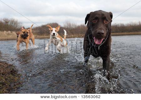 Labrador Retriever And Friends
