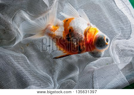 close up Goldfish in aquarium fishing net