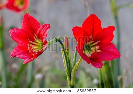 close up beautiful red Amaryllis flower blossom