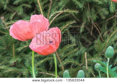 Decorative poppies in the garden.  This picture was taken in Kiev Botanical Gardens.