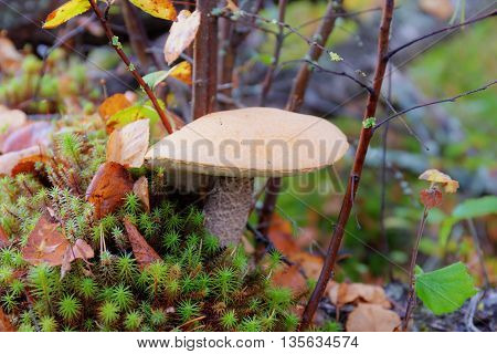 orange-cap boletus growing in the forest close up