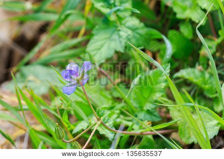 The blue erodium gruinum with a bud