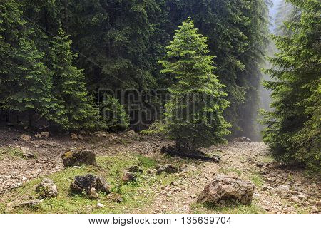 View of forested mountain slope with the evergreen conifers in mist