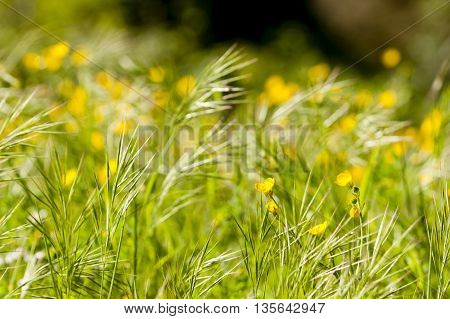 Spring bloom of yellow and white flowers in a green grass