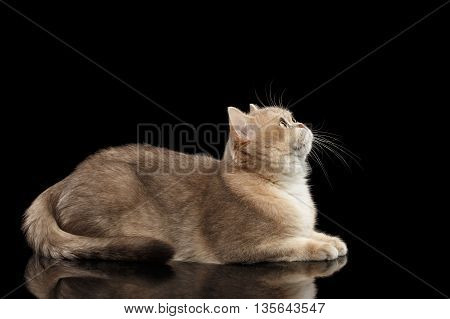 Furry British Cat Gold Chinchilla color with Green eyes Lying and Looking up, Isolated Black Background, Side view