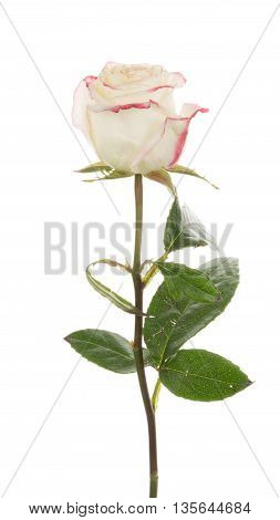 gentle beautiful unusual two-tone white rose flower with a bright pink-edged petals isolated on white background