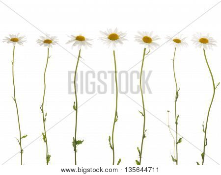 seven beautiful white flowers field of daisies with white soft petals and a bright yellow center on a thin green stems on a white background isolation