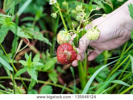 snail eats the strawberry and destroys the year's harvest