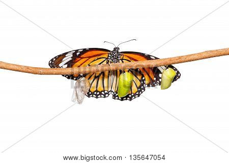Isolated common tiger butterfly emerging from pupa hanging on twig with clipping path