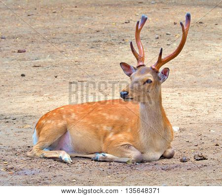A male deer sitting on the ground.