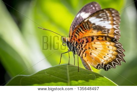 close up Butterfly on a green leaf, Monarch Butterfly