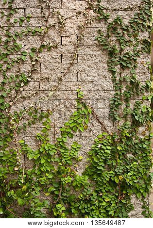 Green creeper tree on wall, For background and texture.