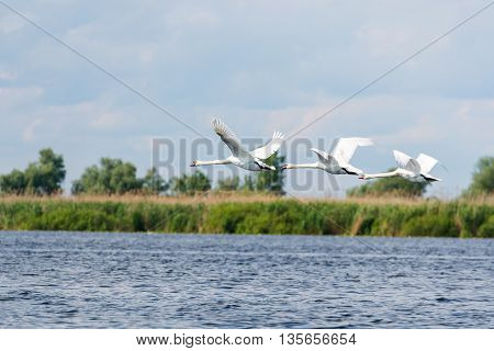 A flock of Tundra Swans fly over a lake Danube Delta