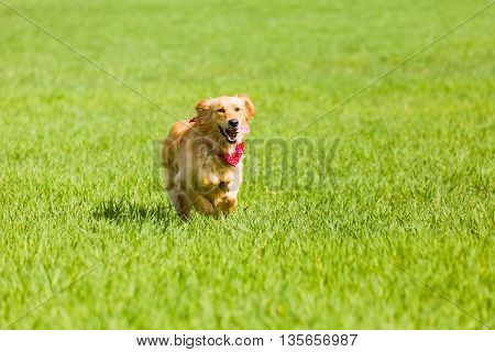 Golden retriever running on the lawn, green gras
