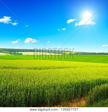 Beautiful sunset on wheat field and bright blue sky