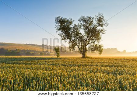 Misty summer fields of wheat in Moravia, Czech Republic.