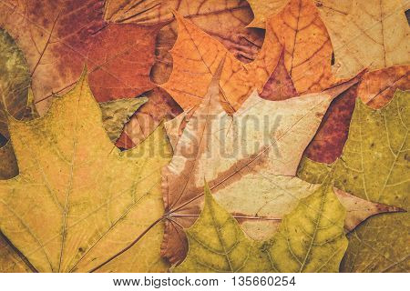 bunch of colorful autumn maple leaves background