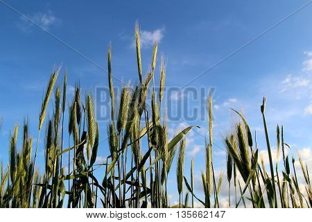 Ears of green wheat closeup stock photo