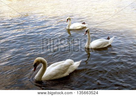 three beautiful swans swimming peacefully on the water