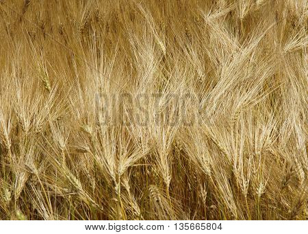 Common Barley (Hordeum vulgareplant) plant in summer as golden background