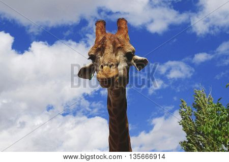Giraffe from zoo is looking at confused me