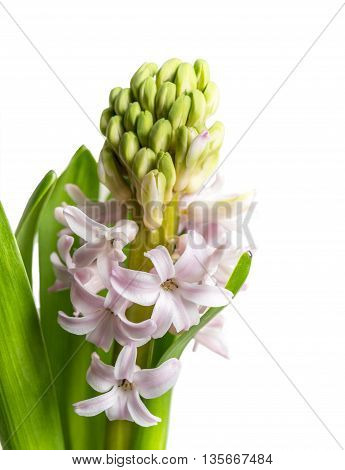 Single open pink hyacinth flower isolated on white background