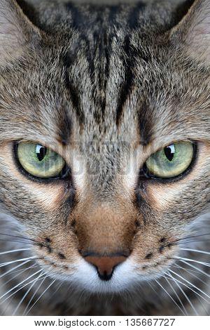 Closeup of portrait a сгеу domestic cat
