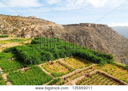 In Oman The Cultivation Of Rice Plant Nature And Color Hill