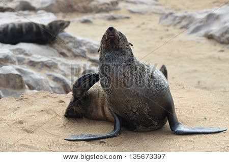 Wild Cape Fur Seal, Namibia