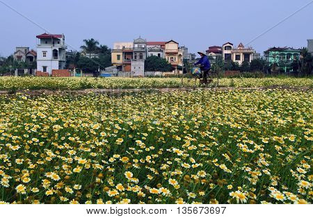 HA NOI, VIET NAM, February 13, 2016 field of flowers, spring, suburban Ha Noi, Vietnam