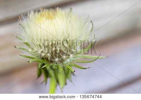Selective focus of blowball (clock) of Dandelion flower with blurred background during summer in Austria, Europe (Taraxacum officinale)