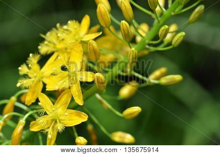 Bulbine Natalensis Also Known With Common Name Bulbine