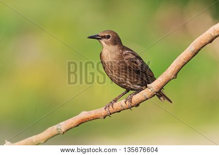 young starling sits on a branch, next generation, summer, green background