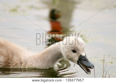 A Mute Swan cygnet feeding as it's parent watches nearby