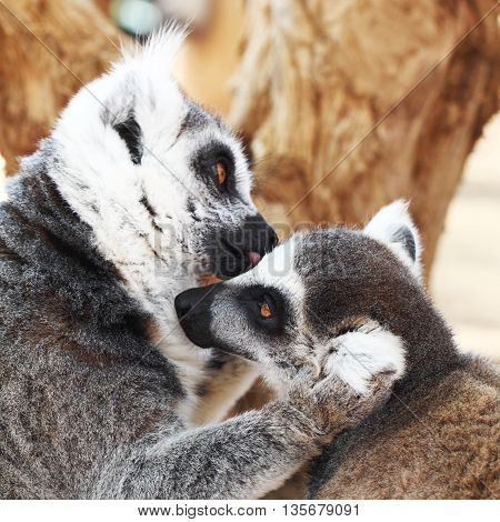 Ring-tailed lemurs monkey (Lemur catta) - kiss animal love concept