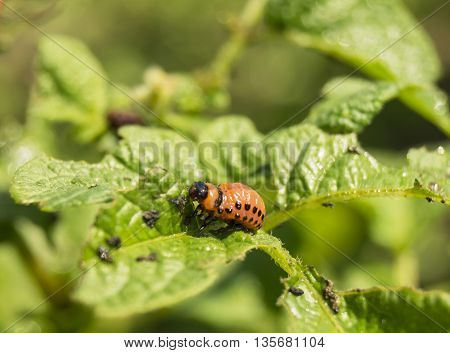 Red maggot of the potato bug on green slip of the potatoes