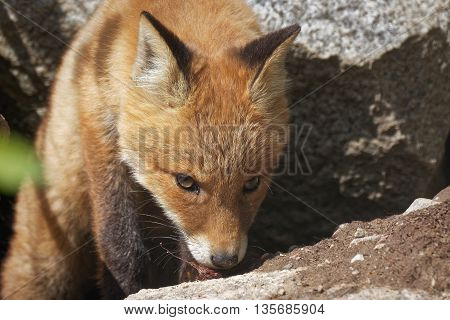 Red Fox Walking In Forest