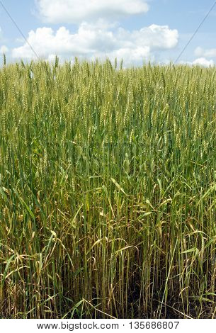 Wheat (Triticum spp.) field against blue sky with white clouds