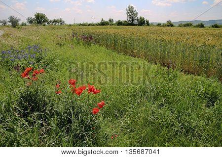 wild flowers in a wheat field in a hilly region