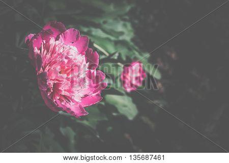 Bright Pink Peony Retro