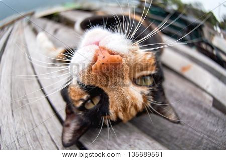 Animal: cute cat with big head under fish-eye.
